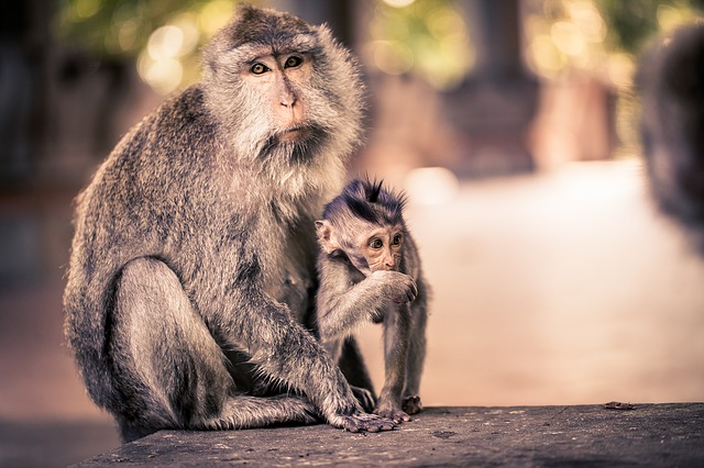 Ubud (Bali) – raj opíc, ryžových polí a kultúry